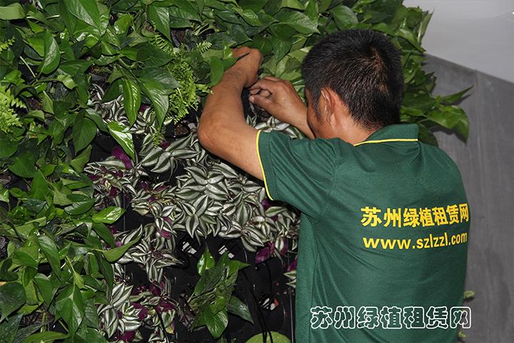 苏州绿植租赁网在进行室内植物墙施工2.jpg